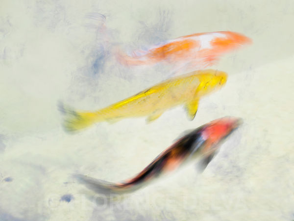The glide of a koi fish photos