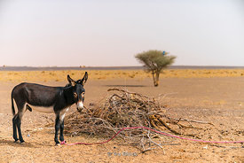 A donkey in the Erg Chebbi sand dunes in Sahara Desert, Morocco
