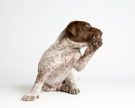 Puppy with paw raised against mouth as if talking