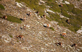 Flock of chamois (Rupicapra rupicapra) grazzing in the slopes of Pic de la Dona (2702 masl)
