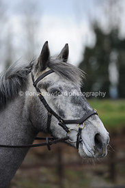 Micklem multi bridle on grey horse