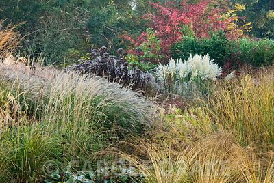 Cortaderia 'Sunningdale Silver' framed by red leaved euonymus, eupatorium and phlomis seedheads plus grasses including feathery flowerheads of miscanthus. Knoll Gardens, nr Wimborne, Dorset, UK