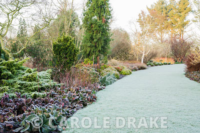 Frosty Winter garden includes colourful stems of birches and dogwoods, evergreens including conifers, clipped box balls, bergenia and Garrya x issaquahensis 'Glasnevin Wine'. Sir Harold Hillier Gardens, Ampfield, Romsey, Hants, UK