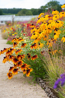Bronze annual rudbeckias with Molinia caerulea subsp. caerulea 'Variegata' in foreground in the hot borders. Helmsley Walled Garden, Helmsley, York, North Yorkshire, UK