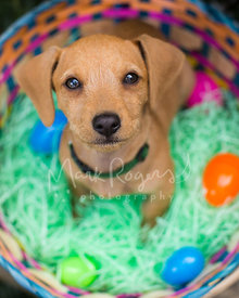 Dachshund Mix Puppy in Easter Basket