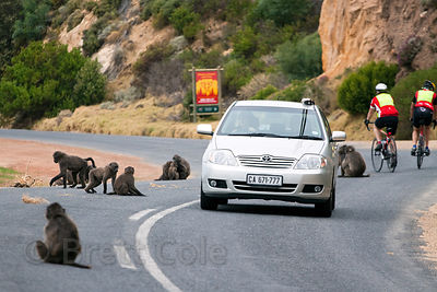Chacma baboons from the Smitswinkel troop on the M4 near Simon's Town, Cape Peninsula, South Africa. Many baboons are killed each year by speeding cars and trucks.