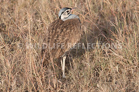 White Bellied Bustard Neck In Horizontal 3
