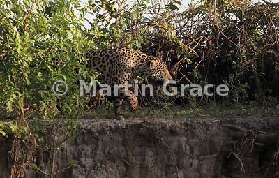 Male Jaguar (Panthera onca) known as Marley making his way along the bank of River Cuiabá, Northern Pantanal, Mato Grosso, Brazil
