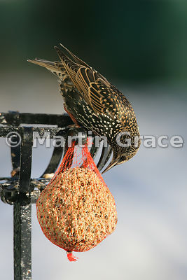 Starling (Sturnus vulgaris) feeding on a fat ball in a Cumbrian garden with the sun shining on its iridescent plumage, Lyth Valley, Cumbria, England