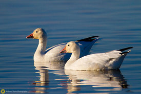 Snow Geese - Sacramento Natl Wildlife Refuge #20