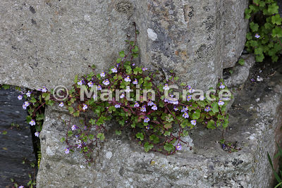 Ivy-Leaved Toadflax (Cymbalaria muralis ssp muralis) growing in the stonework of the ruined medieval Augustinian nunnery, Isle of Iona, Inner Hebrides, Scotland