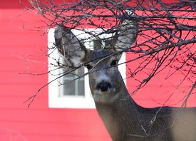 Deer and red barn