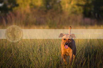 red mixed breed dog walking in grasses with minimal background