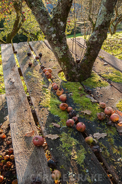 Table and chairs strewn with fallen apples below an apple tree in an old orchard in autumn.