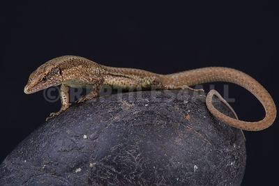 Madeira wall lizard / Teira dugesii photos