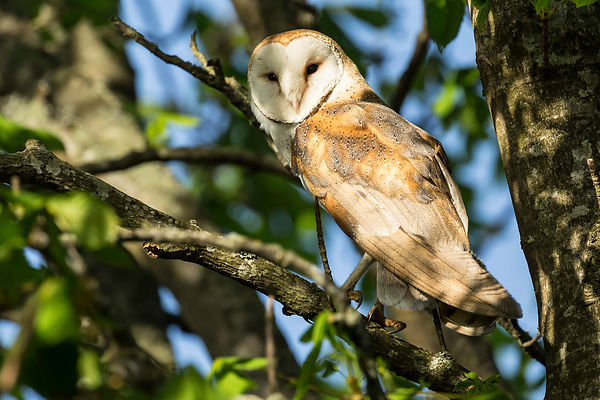 Barn Owls photos