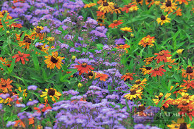Flower garden with zinnias - Europe, Germany, Bavaria, Upper Bavaria, Munich - digital