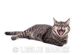 Domestic Shorthair Cat Yawning