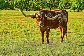 Texas Longhorn, popped HDR