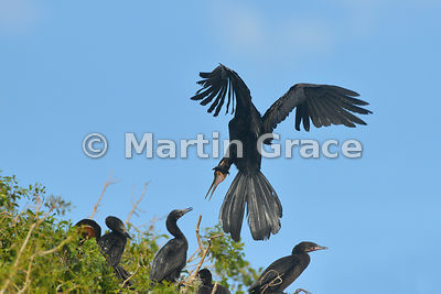 A male African Darter or Anhinga (Anhinga rufa (melanogaster)) demonstrating aggression to a Reed (Long-Tailed) Cormorant as it flies back to its nest, River Chobe, Botswana