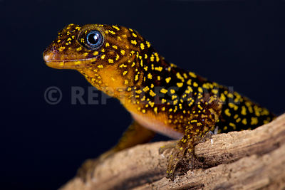 Annulated gecko (Gonatodes annularis) photos
