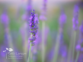 Lavender Flower - One of Many