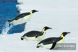 Emperor penguin (aptenodytes forsteri) group jumping out of ocean - Antarctica, Antarctica, Antarctic Peninsula, Snowhill Island - digital