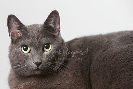 Grey Cat with Yellow Green Eyes