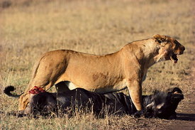 Lioness and wildebeeste