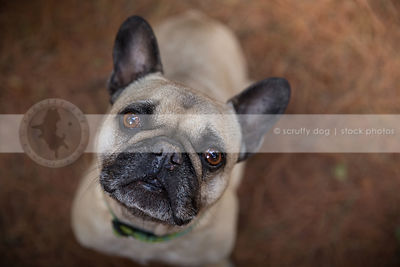 closeup of worried pug dog staring upward with bokeh background