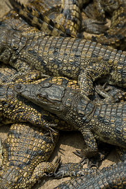 Close up of young Nile crocodiles (Crocodylus niloticus) lying in the sun on top of each other.
