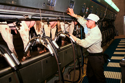 USA - Fresno - Farmworker milks a dairy herd with milking machines