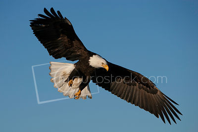 A bald eagle soaring in the sky.