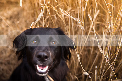 headshot of black dog looking upward from dried grasses