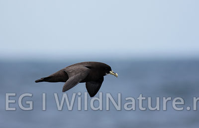 White-chinned petrel/Hvithakepetrell - South Atlantic
