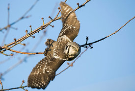 December - Northern Hawk Owl
