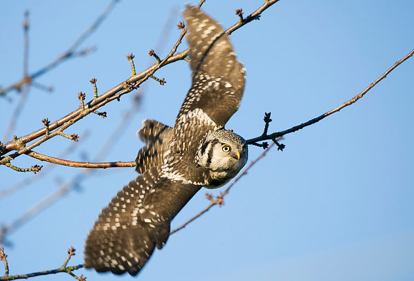 Northern Hawk Owls photos