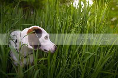 white cross breed dog looking away hiding in natural grasses