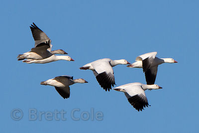 Snow geese (Chen caerulescens) in flight over the Lower Klamath NWR, California