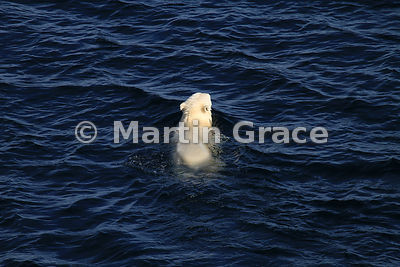 Polar Bear (Ursus maritimus) swimming - probably a 3 to 4 year-old male, recently weaned