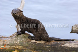 River Otter Pup Pose