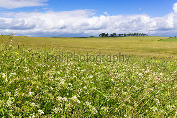 Field of Cow Parsley, Northumberland, Hadrian Wall Walk.