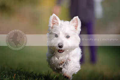 cute groomed white west highland terrier dog running in grass