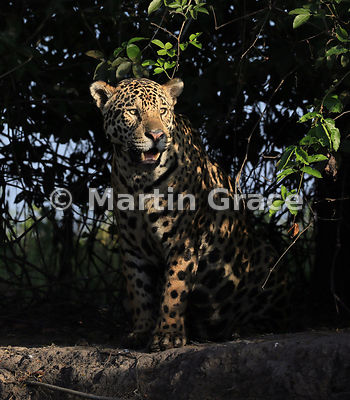 Male Jaguar (Panthera onca) known as Marley, in early morning dappled sunlight and looking to our right, River Cuiabá, Northern Pantanal, Mato Grosso, Brazil; Image 3 of 3