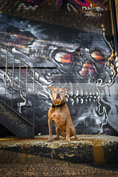 old red pit bull dog sitting on concrete with dark urban graffiti skull
