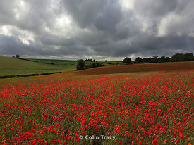 Milbourne Poppies