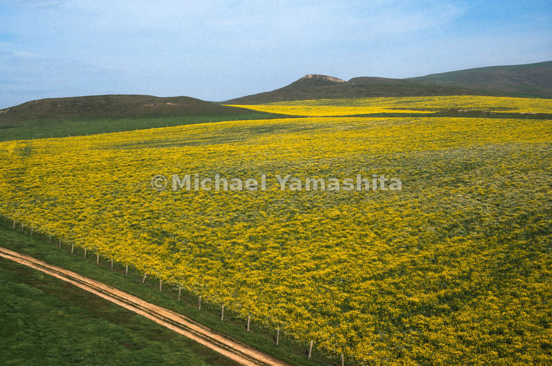 Mustard fields.Point Reyes, California