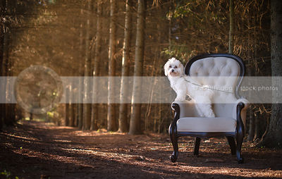 small white dog standing on an antique chair in the forest