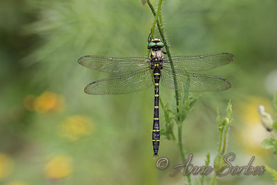 Dragonflies photos