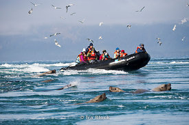 People from the National Geographic Sea Lion taking a zodiac cruise with sea gulls and steller sea lions around the Inian Islands.